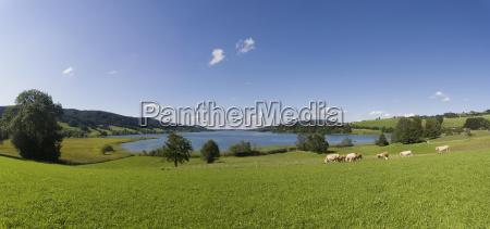 austria salzkammergut cattles grazing grass near