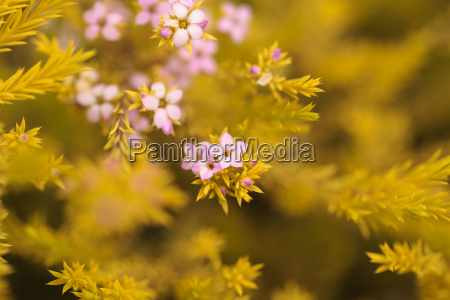 mexican heather with tiny pink flowers