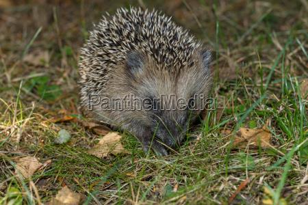 hedgehog in the garden