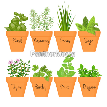 set of vector culinary herbs in