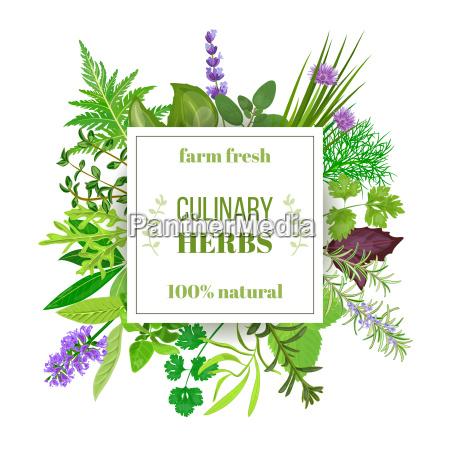 popular culinary herbs big set with