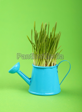 spring grass in watering pot over