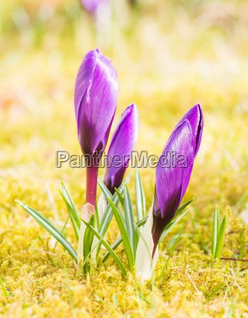 purple crocus flower buds in spring