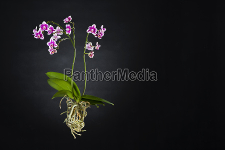 orchid with visible roots on black