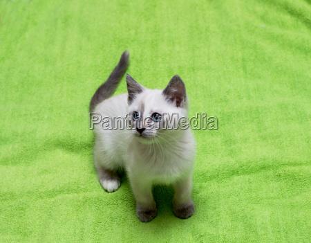 white thai kitten on a green