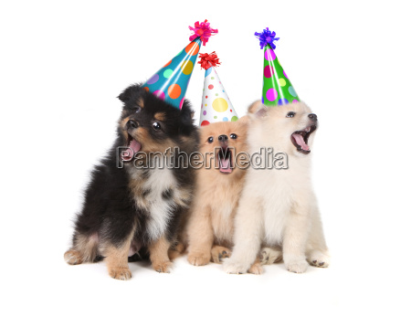 puppies singing happy birthday wearing party