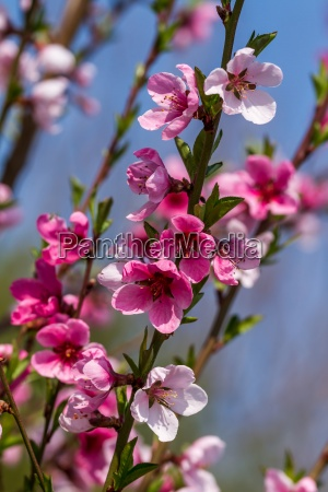 beautiful apple flower at spring