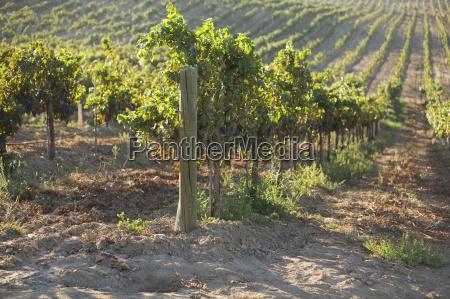 grape vine plantations