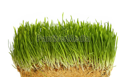 spring green grass growing close up