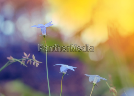 wahlenbergia australian wildflower native bluebell