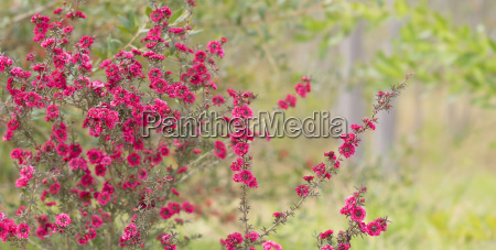 burgundy pink leptospermum flowers in spring