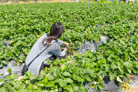 asian young woman enjoy picking strawberry
