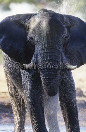 african elephant loxodonta africana bathing at