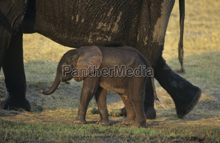 young african elephant loxodonta africana with