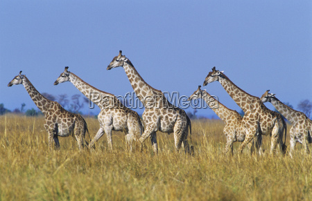 group of maasai giraffes giraffa camelopardalus