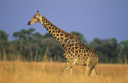 maasai giraffe giraffa camelopardalus on savannah