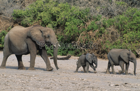 three african elephants loxodonta africana in