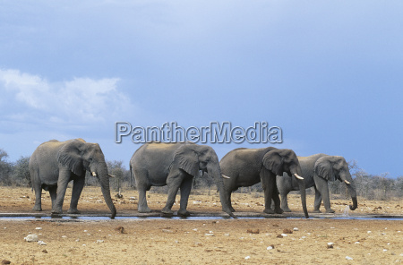 four african elephants loxodonta africana in