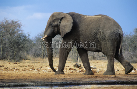 african elephant loxodonta africana walking on