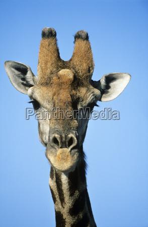 maasai giraffe giraffa camelopardalus close up