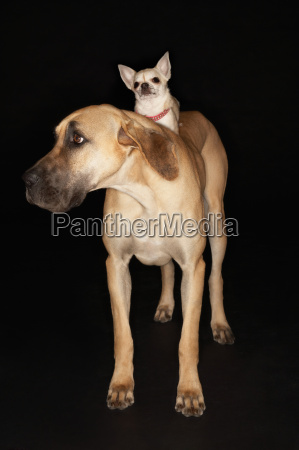 chihuahua riding on great dane