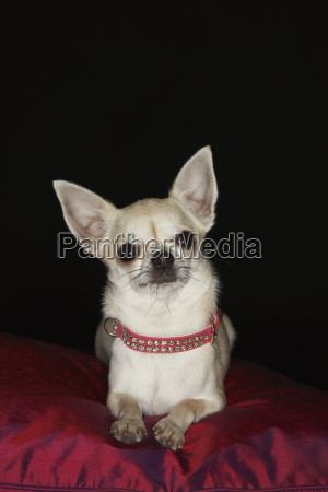 chihuahua on red pillow