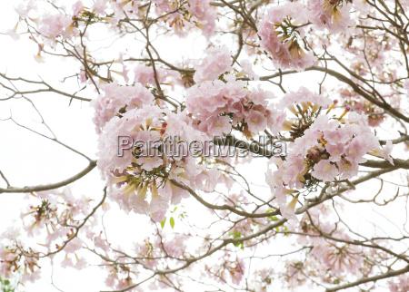 pink trumpet tabebuia rosea flower