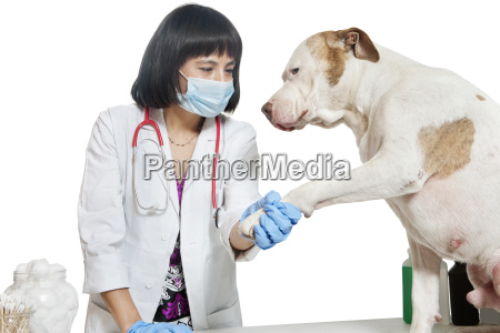 female veterinarian holding dogs paw over