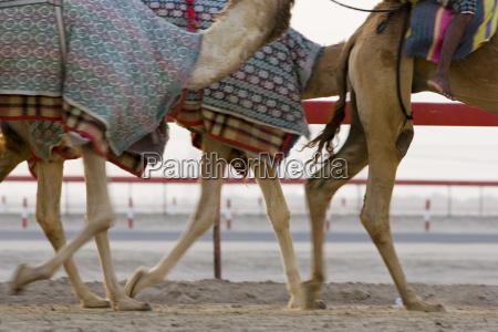 dubai uae blurred motion of camels