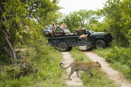 leopard crossing road with tourists in