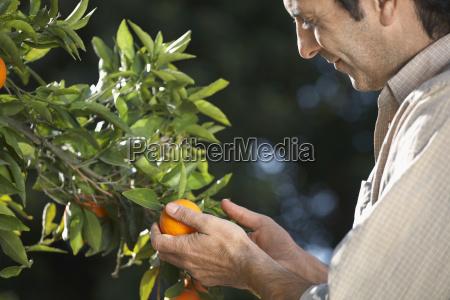 farmer examining oranges on tree in