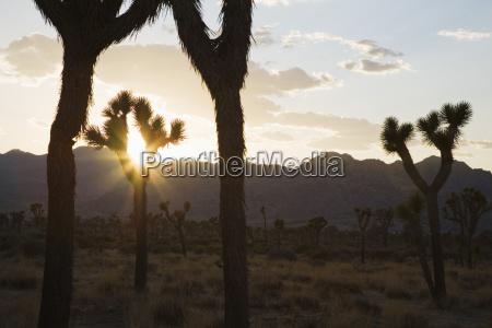 silouette of joshua trees in desert