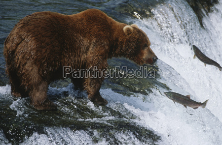 brown bear grizzly bear looking at