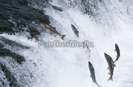 group of salmon jumping upstream in