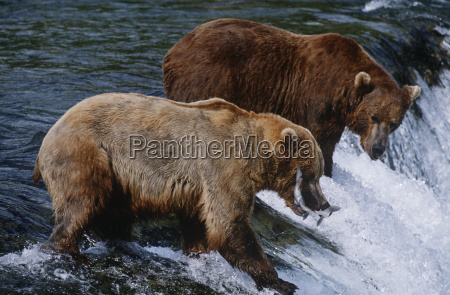 usa alaska katmai national park two