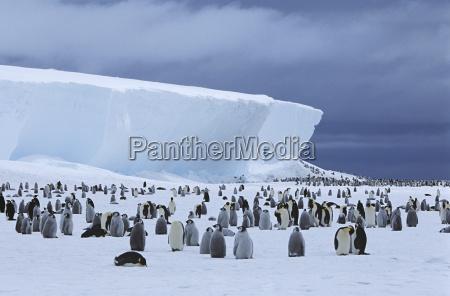 emperor penguin aptenodytes forsteri colony and