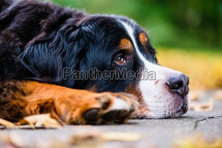 bernese mountain dog resting in autumn