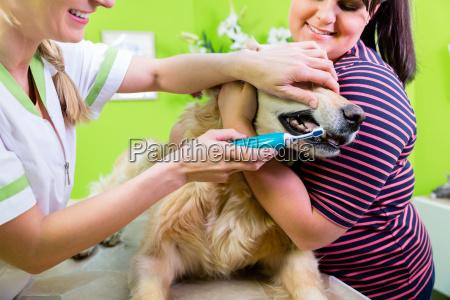 big dog getting dental care by