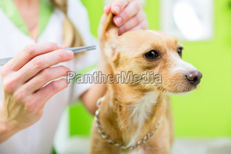 dog gets ear clearing in pet