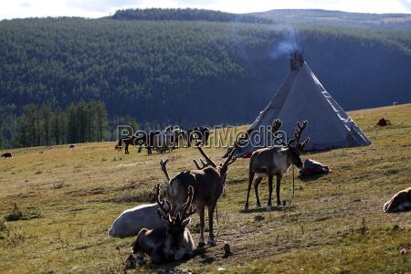 mongolia tethered reindeer in khovsgol national