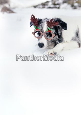 border collie with christmas ornament glasses