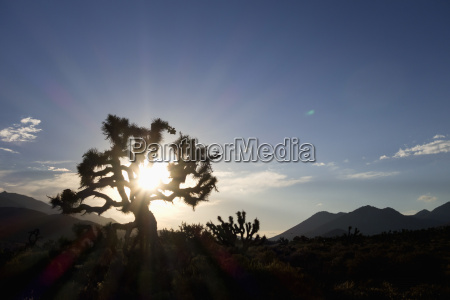 usa california joshua tree in back