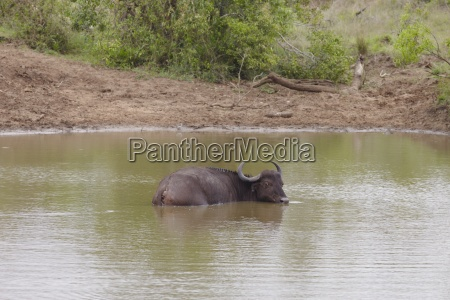 water buffalo wading in river