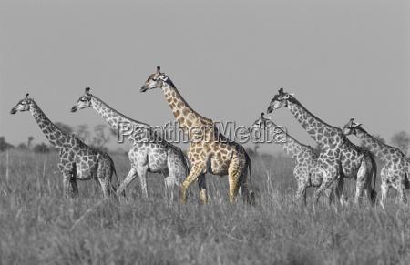side view of giraffes walking