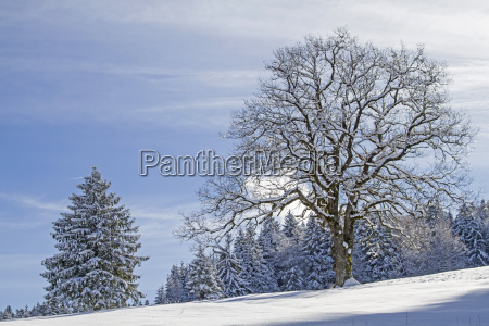 deciduous tree with winter landscape