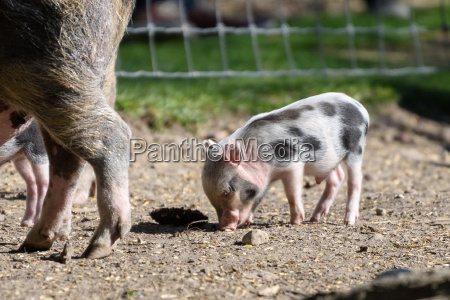 baby wild boar searching for feed