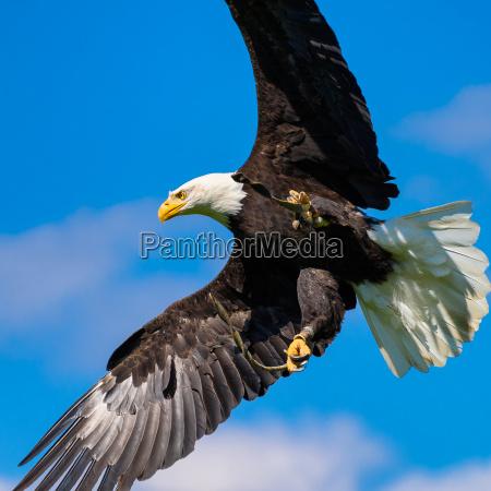bald eagle haliaeetus leucocephalus with spread