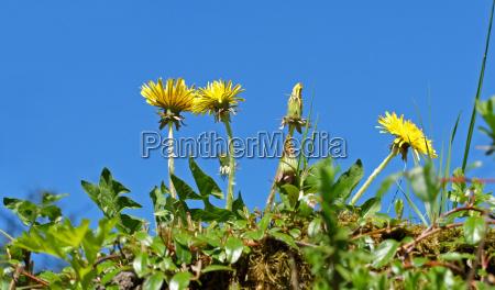 dandelions in front of blue sky