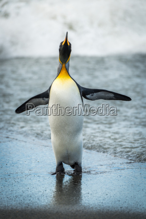 king penguin flapping flippers on wet