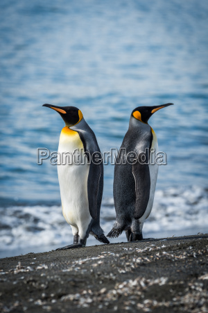 two king penguins facing in opposite
